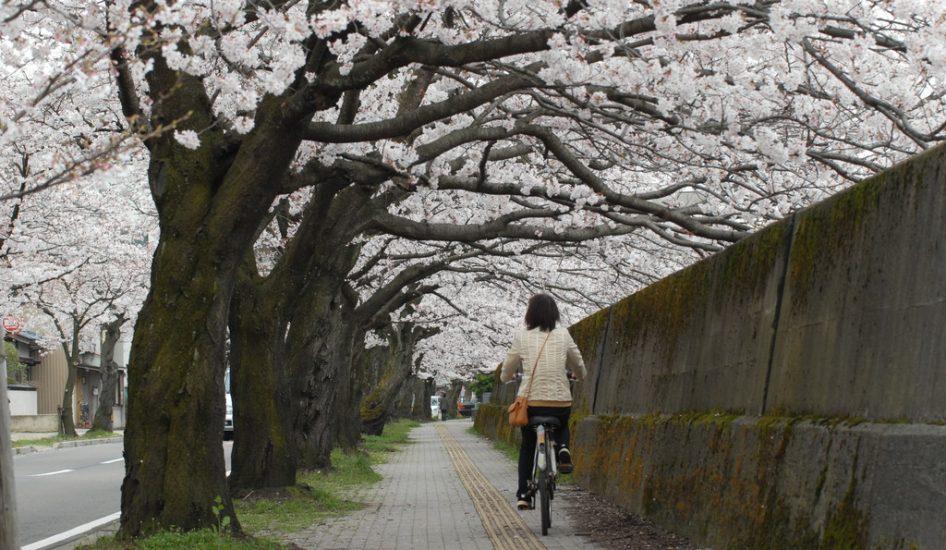 市営三秀プール前の桜並木
