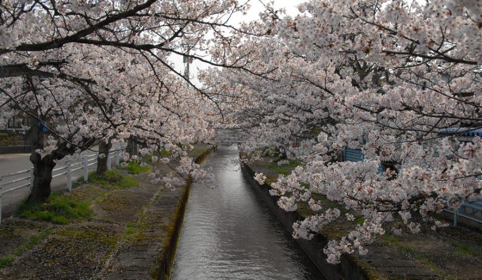 芝原用水と桜並木