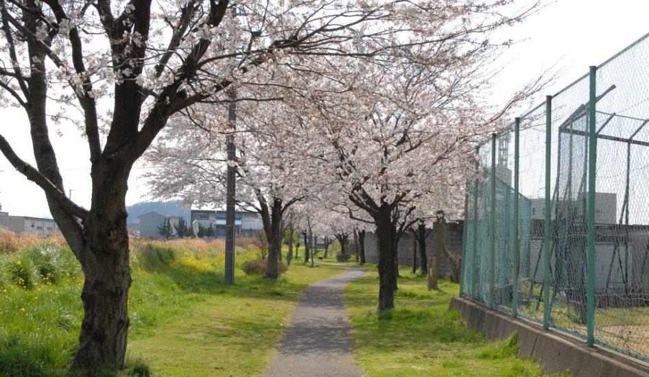 市営球状横の桜並木