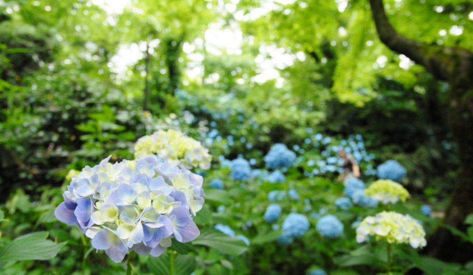 足羽山の紫陽花