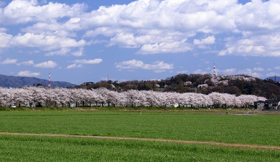飯塚町桜並木